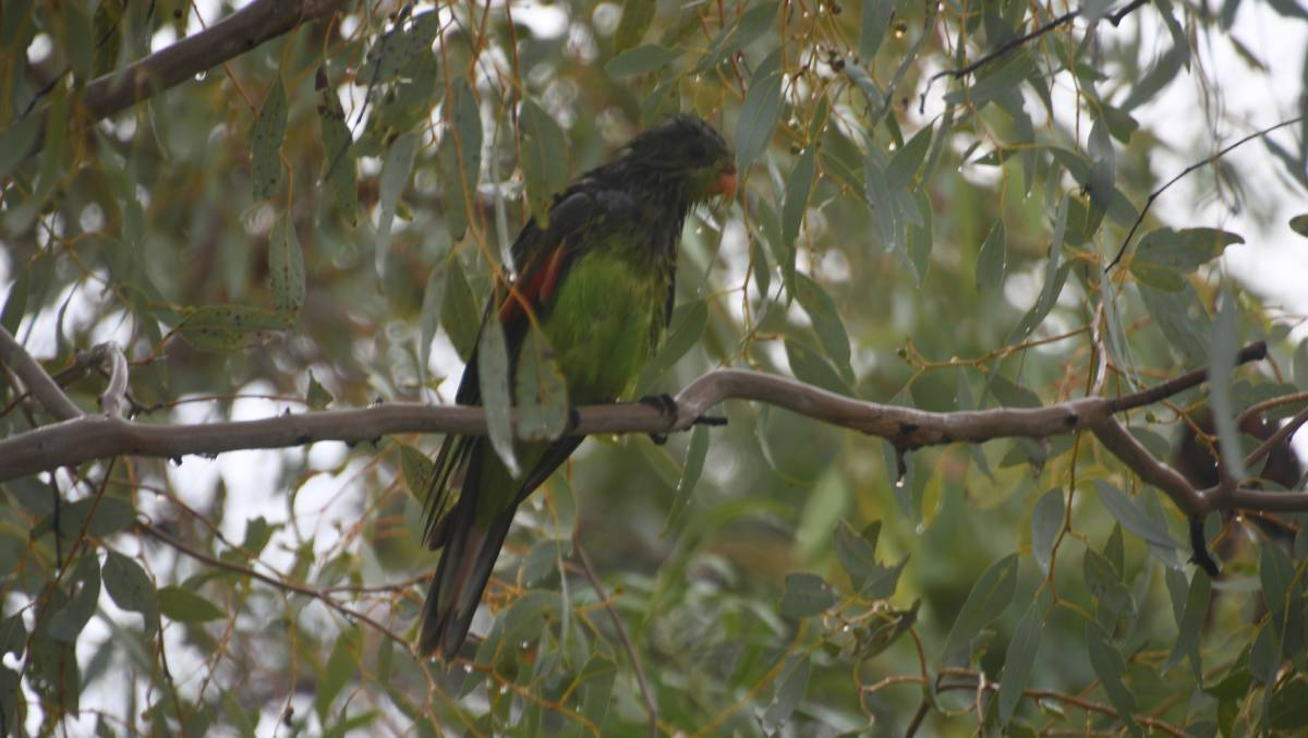 SOGGY BIRD: A red-winged parrot looks a bit bedraggled after recent rain in Mount Isa. Photo: Derek Barry