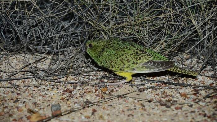 This is the photo of the night parrot John Young took in 2013.