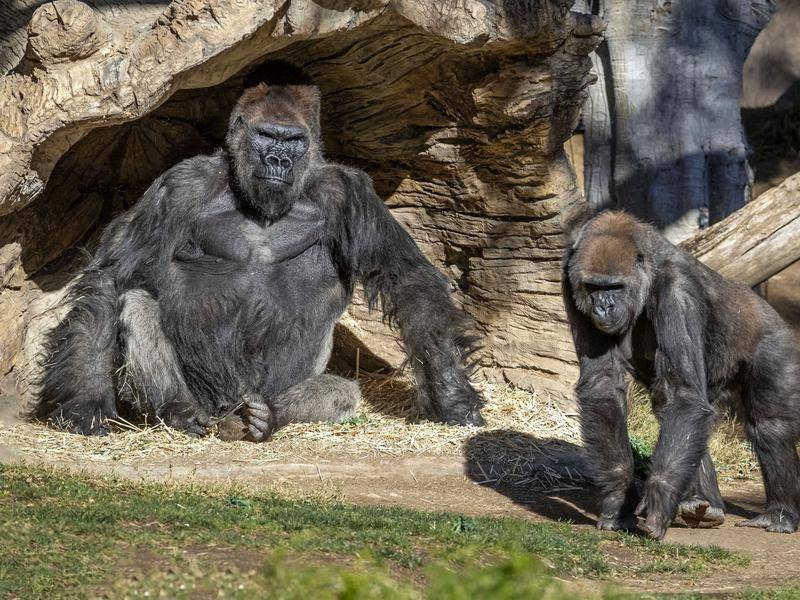 The gorillas are suspected of having contracted infection from an asymptomatic staff member.